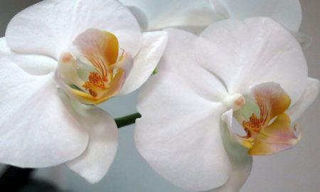 Орхидея доритенопсис