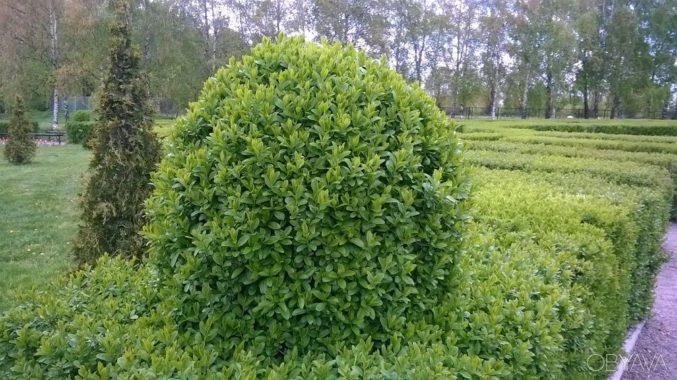 Посадка живой изгороди из бирючины