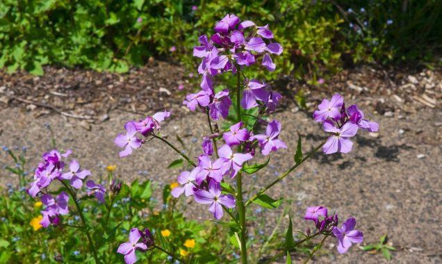 Цветы вечерница - ароматный акцент летнего сада