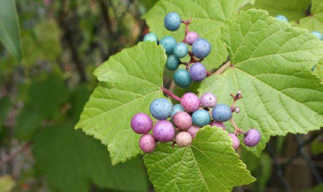 Виноградовник Уссурийский