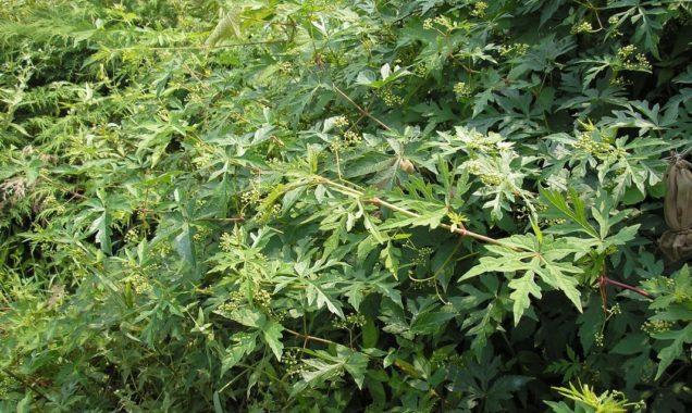 Декоративнолиственное растение Виноградовник