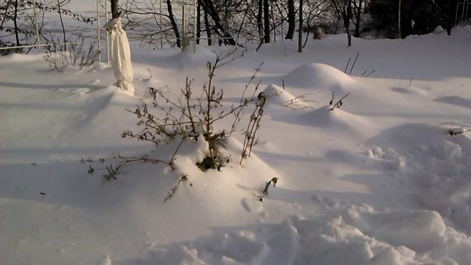 Зимование Буддлеи Давида