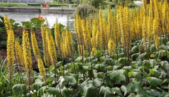 Бузульник (лигулярия, лигулария) – широколистный травянистый многолетник