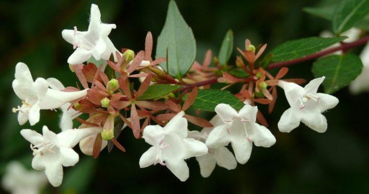 Цветы волчника