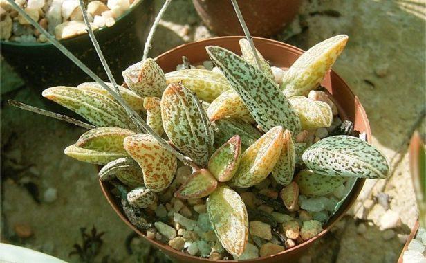 Адромискус мариане (A. marianiae)