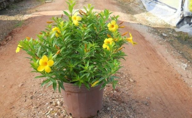 Комнатное растение алламанда