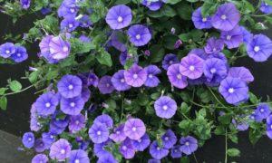Цветок конвольвулюс