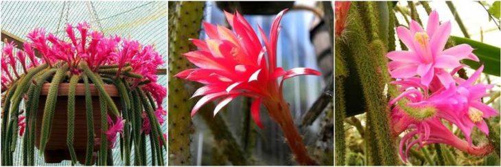 Апорокактус - виды и сорта
