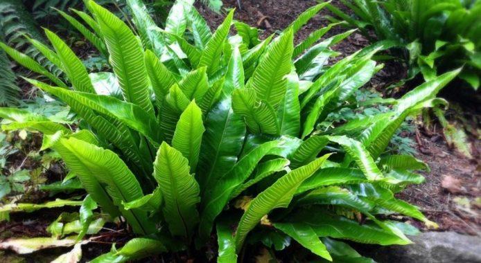 Асплениум зеленый