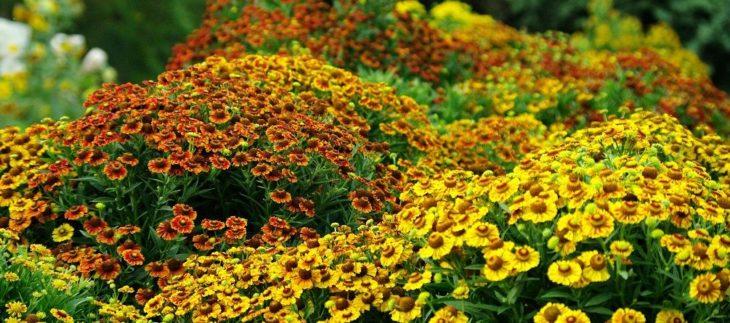 Цветы гелениума