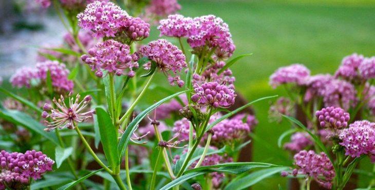 Растение ваточник