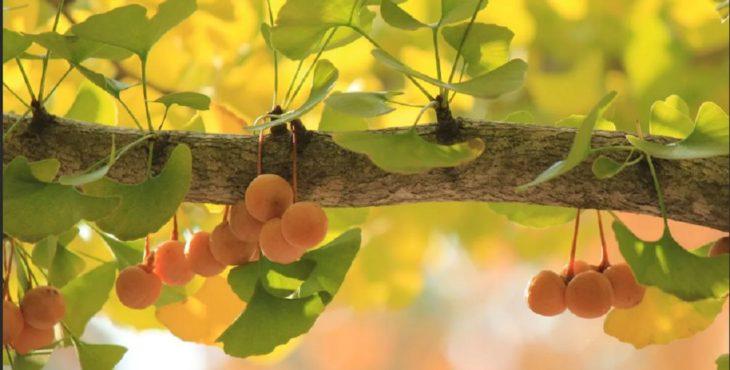 Плоды гинкго