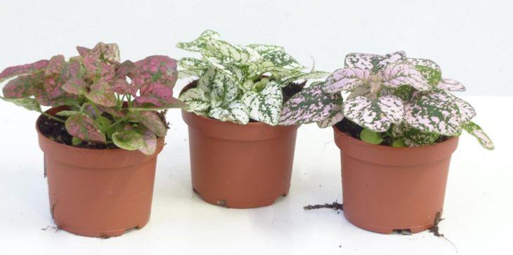 Гипоэстес: выращивание и уход