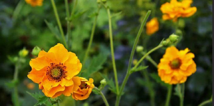 Цветы гравилат