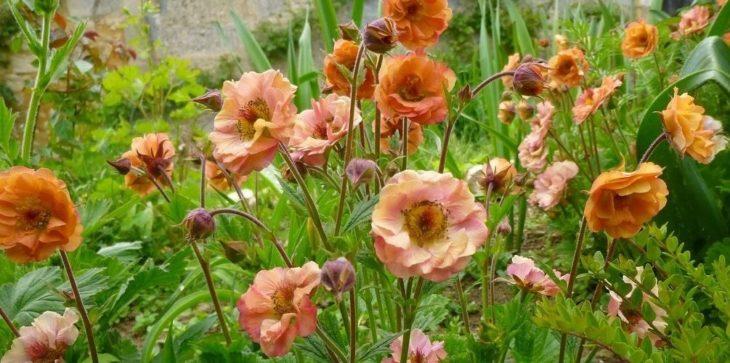 Цветы гравилат: посадка и уход