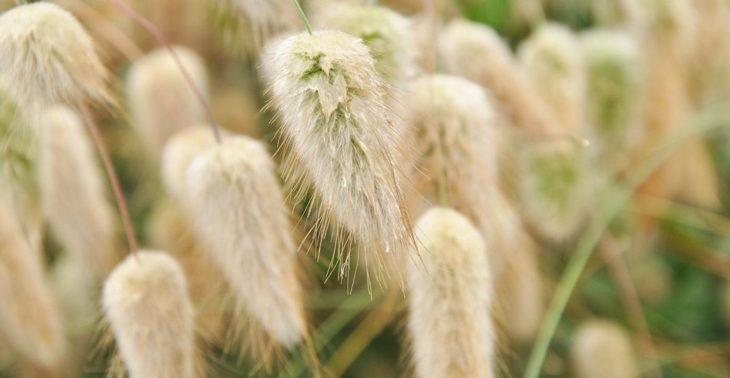 Семена зайцехвоста