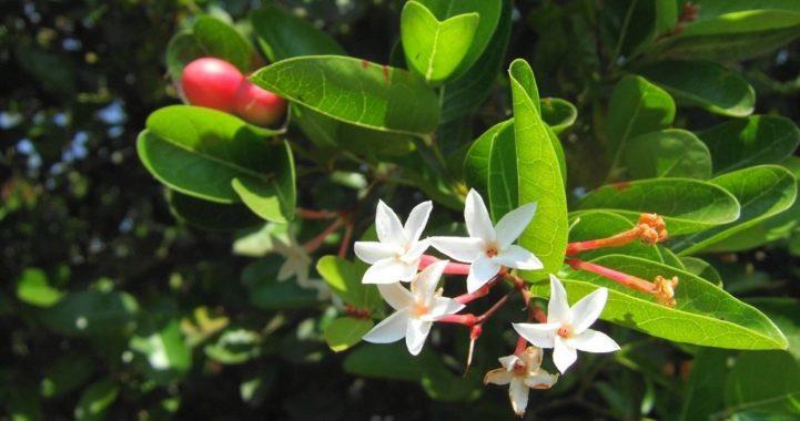 Цветок карисса