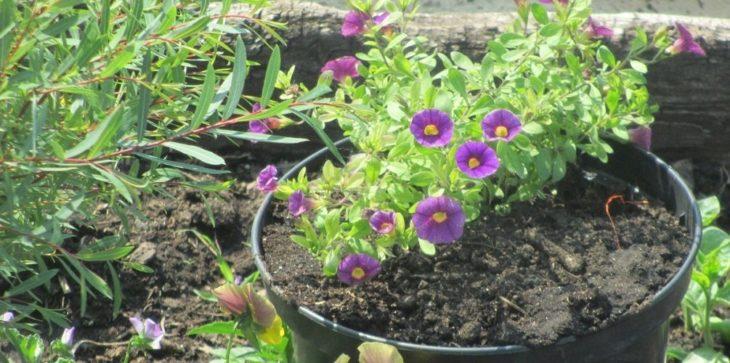 Выращивание калибрахоа из семян