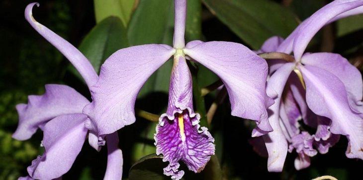 Каттлея (Cattleya Orchids)