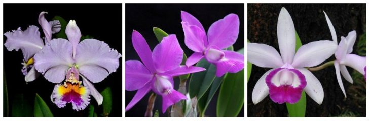 Cattleya gaskelliana, Cattleya walkeriana, Cattleya intermedia