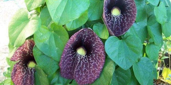 Растение кирказон