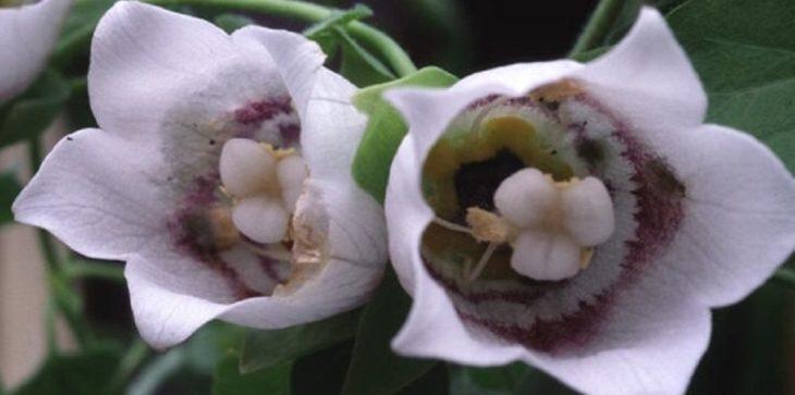 Кодонопсис мелковолосистый