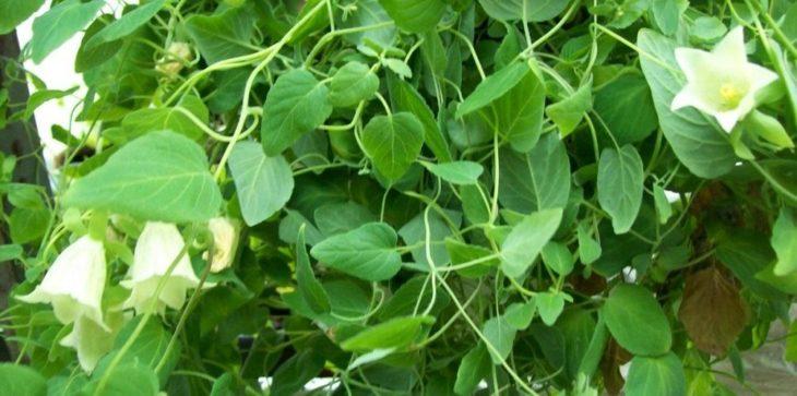 Кодонопсис: выращивание, уход