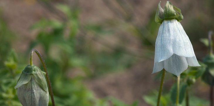 Кодонопсис: выращивание в открытом грунте