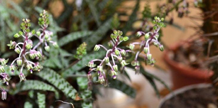 Ледебурия (сцилла, дримиопсис)