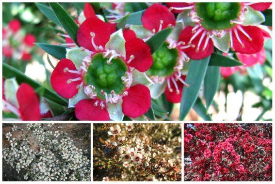 Лептоспермум: сорта и разновидности