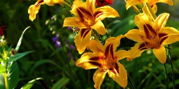 Длина цветоноса лилейника