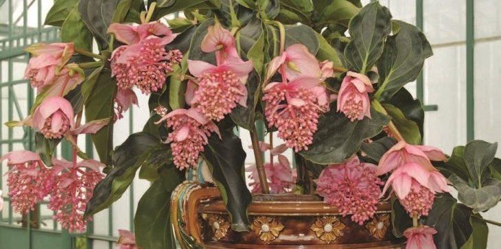 Мединилла - уход за цветами в домашних условиях
