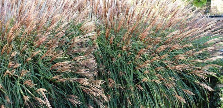 Мискантус: описание растения