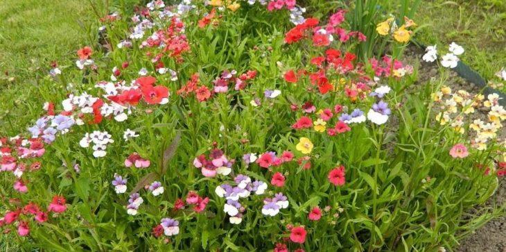 Немезия на садовом участке