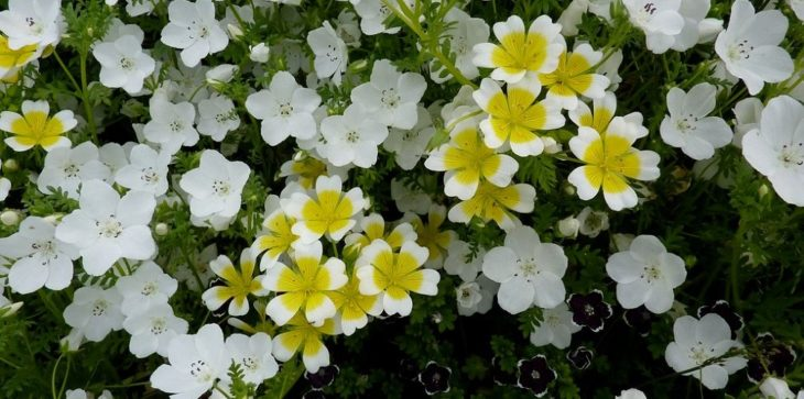 Цветок немофила