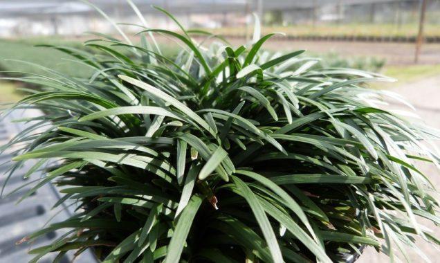 Растение офиопогон
