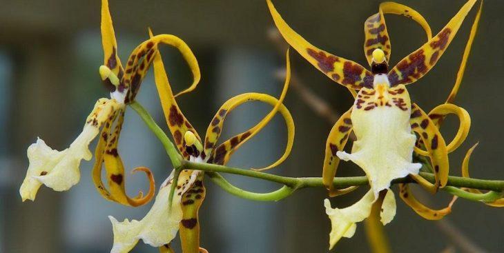 Орхидея одонтоглоссум: описание