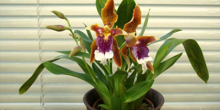 Орхидея одонтоглоссум: посадка и уход