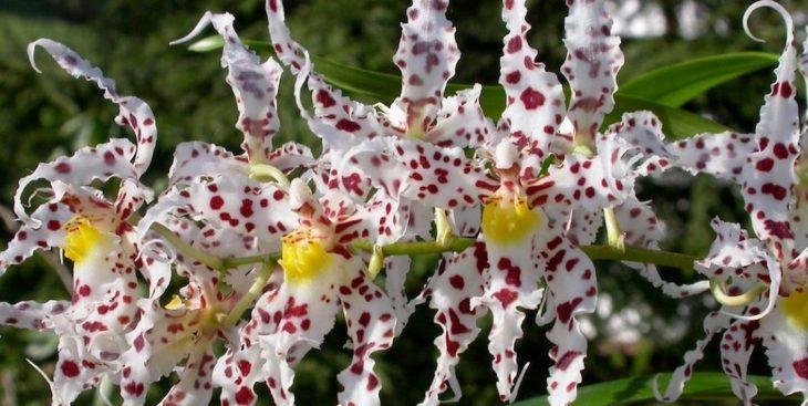 Орхидея одонтоглоссум: полив, освещение