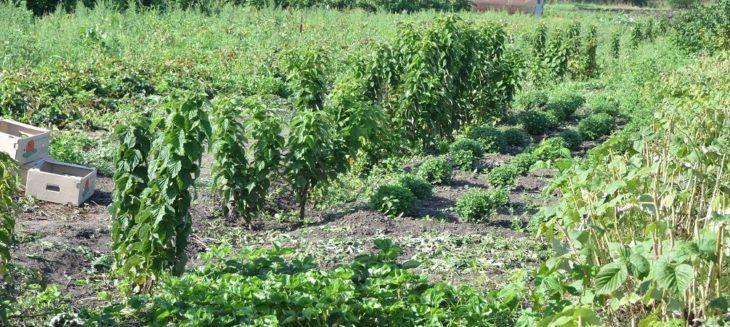 Посадка штамбовой малины