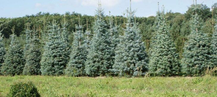 Посадки хвойных деревьев