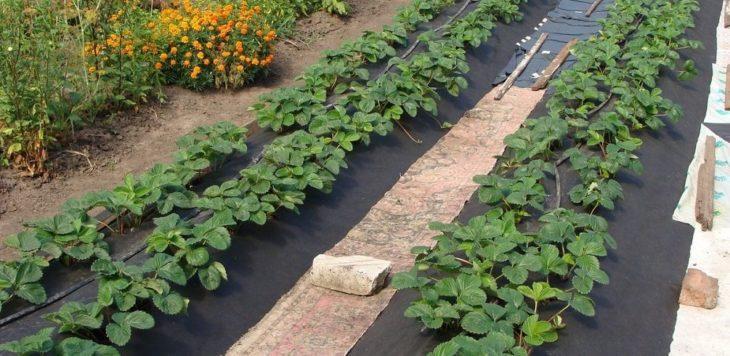 Грядки для садовой земляники