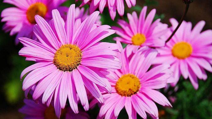 Цветок пиретрум