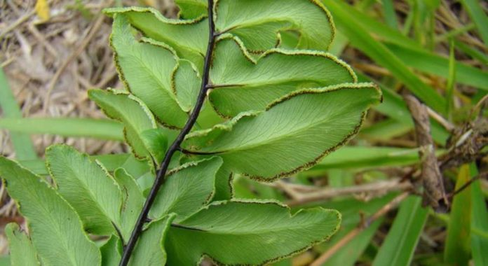 Пеллея зеленая
