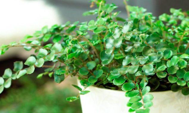 Растение пеллея