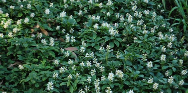 Пахизандра: описание растения