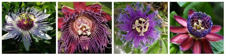 Пассифлора: виды и сорта