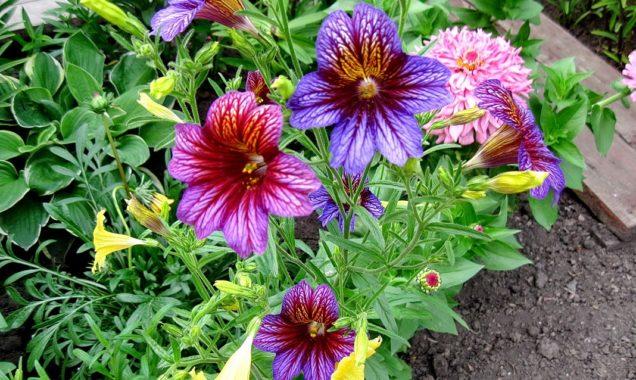 цветение сальпиглоссиса