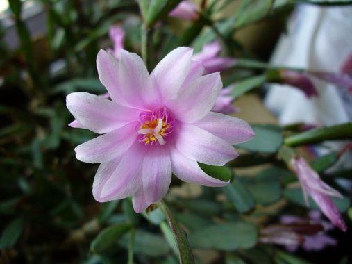 Р. розовый (Rhipsalidopsis rosea)