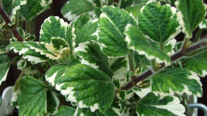 Plectranthus coleoides (колеусовидный)